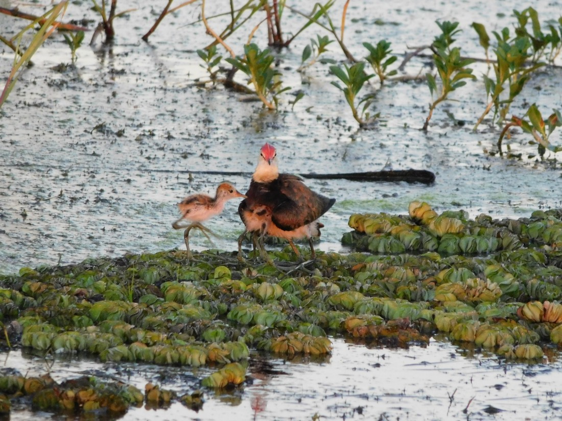 Kakadu Yellow water male Jacana with babies under wing for safety
