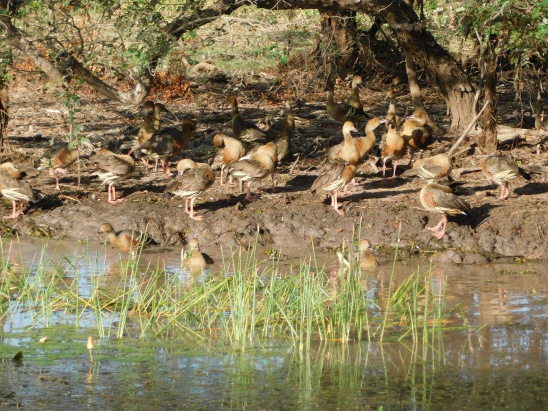 Kakadu Yellow water river cruise whistling ducks