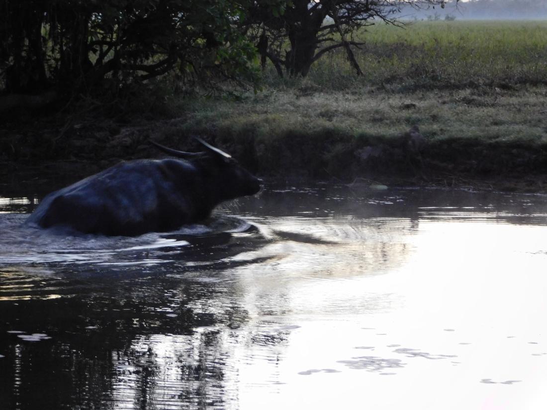 Kakadu Yellow water sunrise cruise where water Buffalo had totally submerged himself to hide