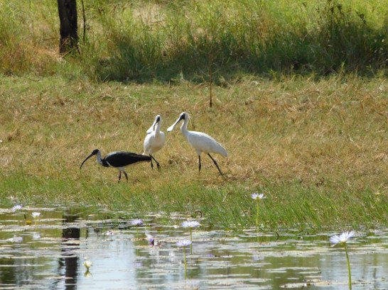 Keep River NP spoonbill out numbering Ibis