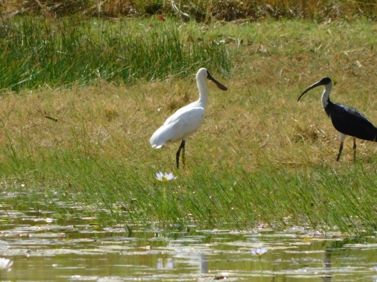 Keep River NP- Spoonbill v's Ibis