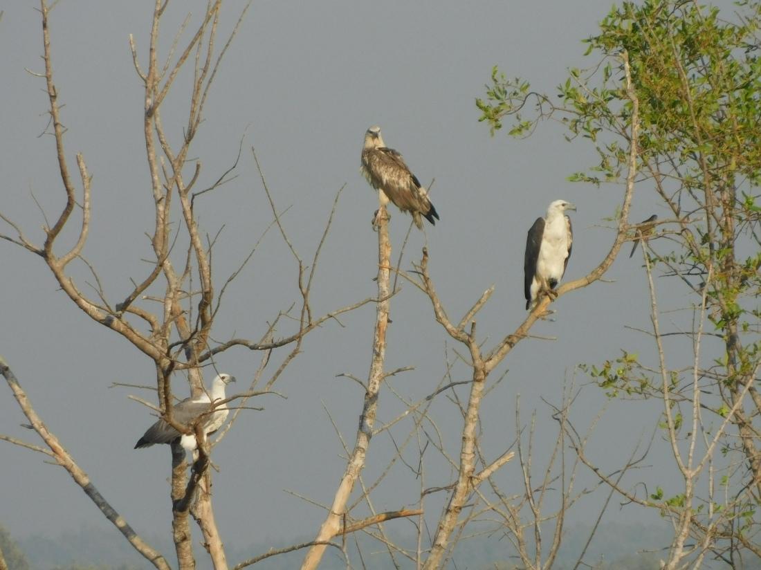 Shady Camp White Bellied Sea Eagle (2)