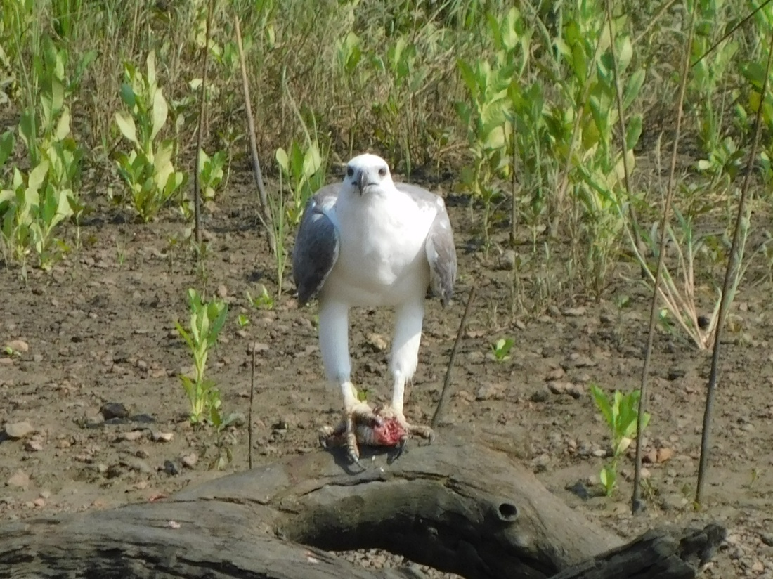 Shady Camp white bellied sea eagle with his catch