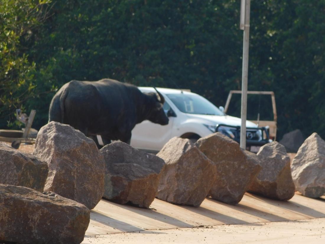 Shady Camps large resident Buffalo