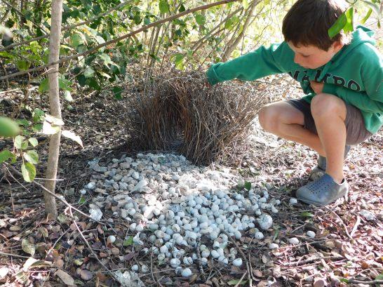 Mataranka BowerBird Nest