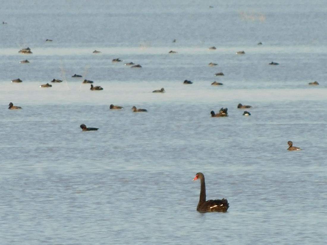 bird- Coongie Lake