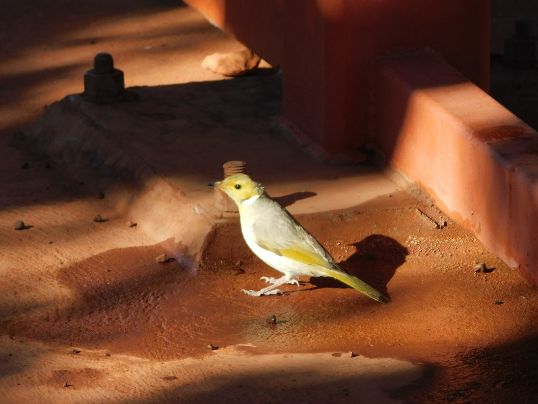 Bird- Kata Tjuta