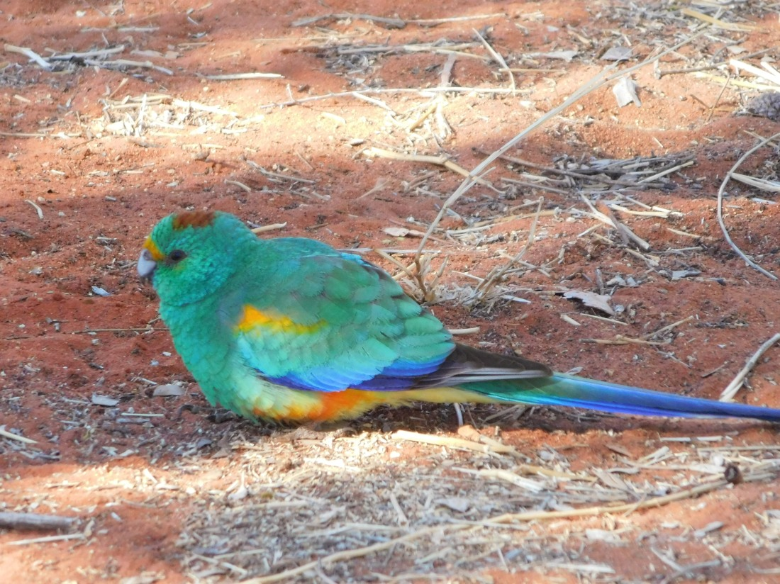 Bird- Kings Canyon (3)