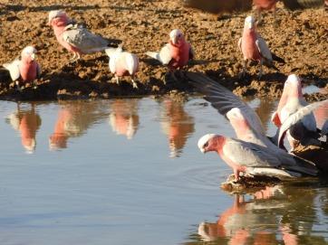 Bird- Old Andado (2)