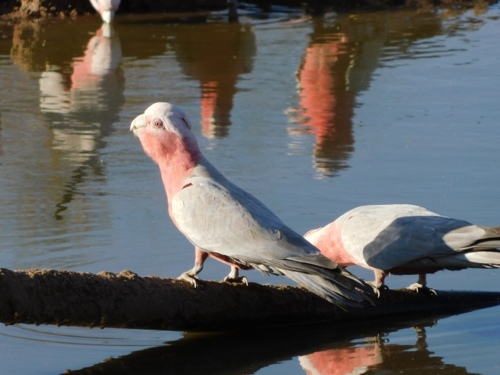 Bird- Old Andado