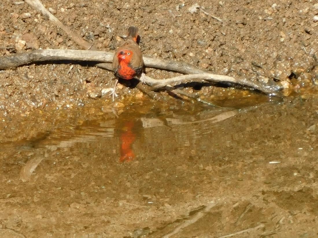 Bird- Trephina Gorge (3)