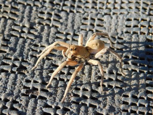 Coober Pedy- Spider