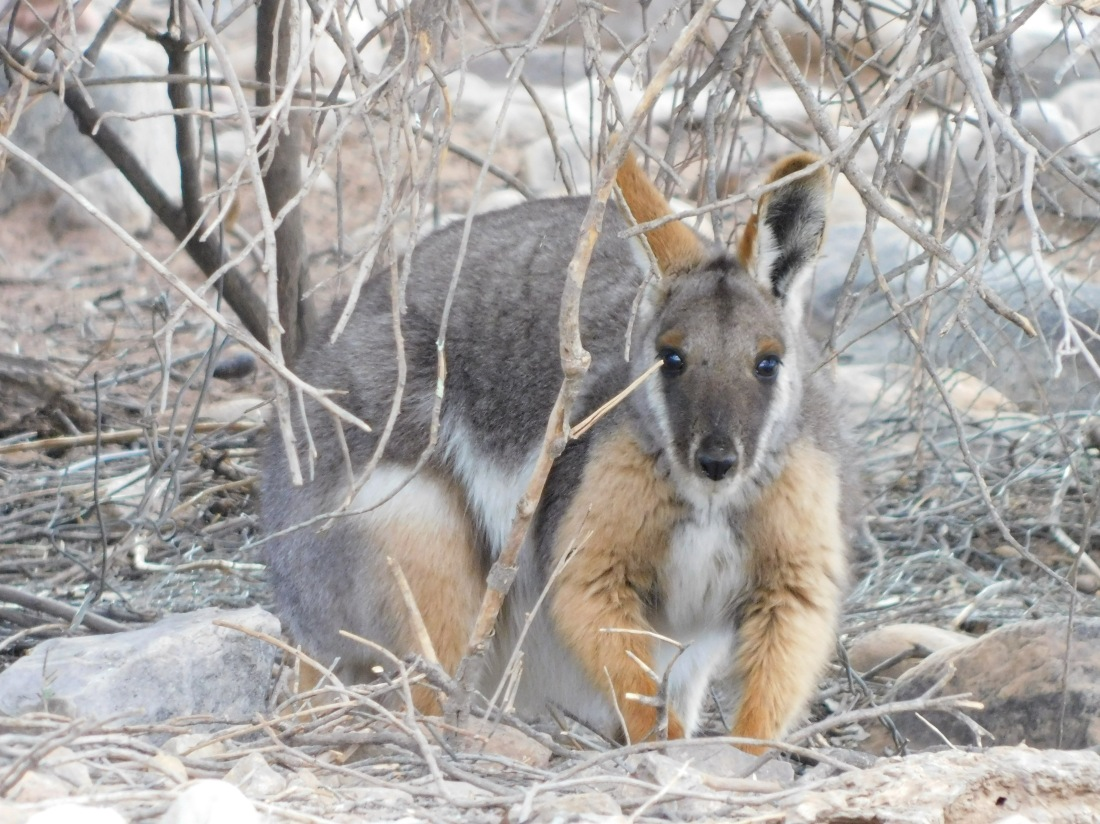 Gammon Ranges- wallaby