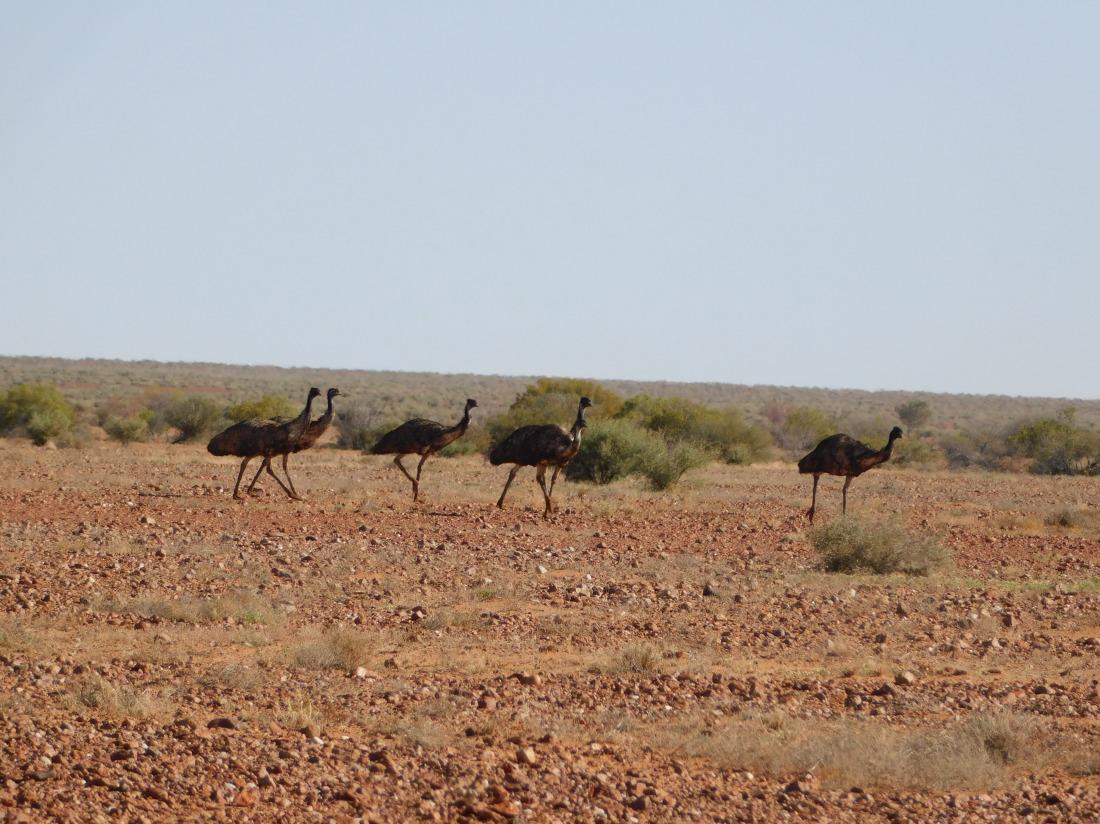 Lake Eyre emus (2)