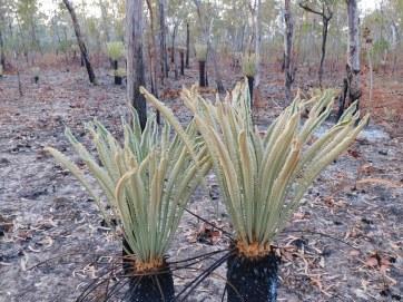 Nhlunbuy Palm (2)
