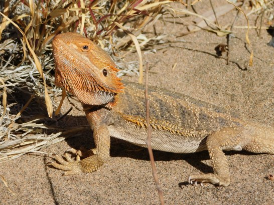 Ruby Gap-Bearded Dragon