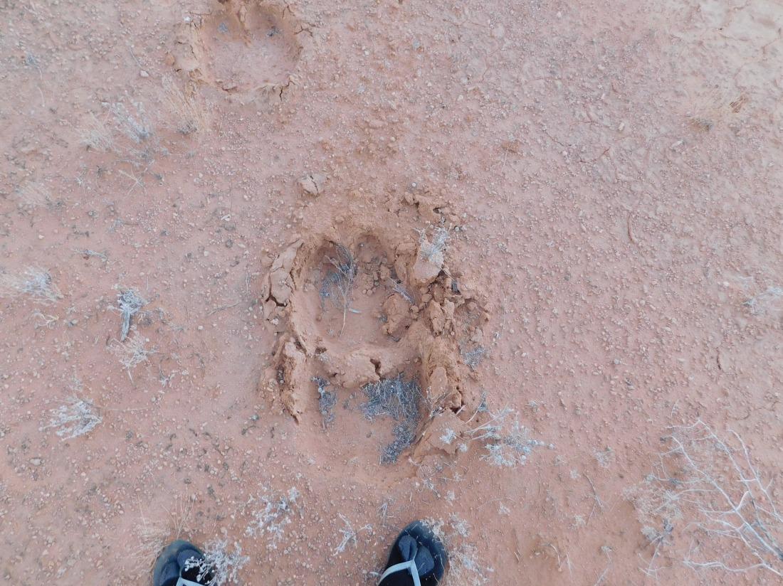 Simpson Desert-camel prints