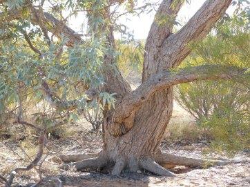 Simpson Desert-Lone Gum (2)