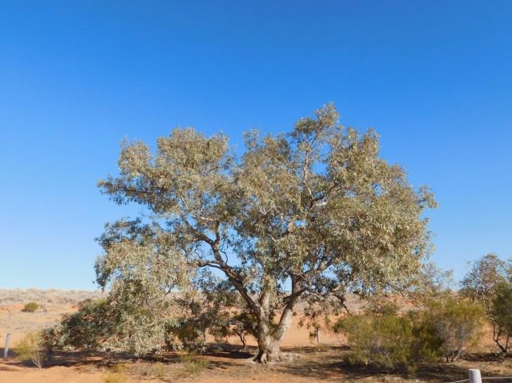 Simpson Desert-Lone Gum