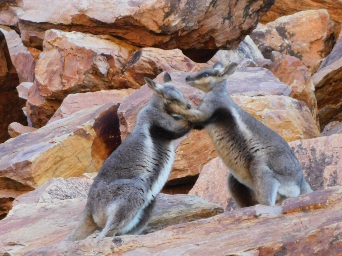 Simpsons Gap Black Footed Rock Wallaby (2)