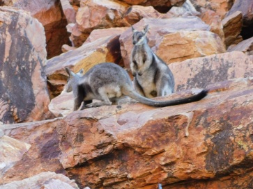 Simpsons Gap Black Footed Rock Wallaby (4)