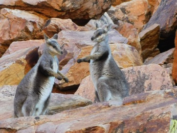 Simpsons Gap Black Footed Rock Wallaby