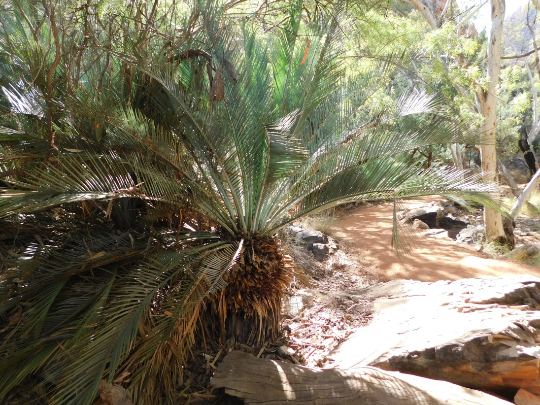 Stanley Chasm- Cycad