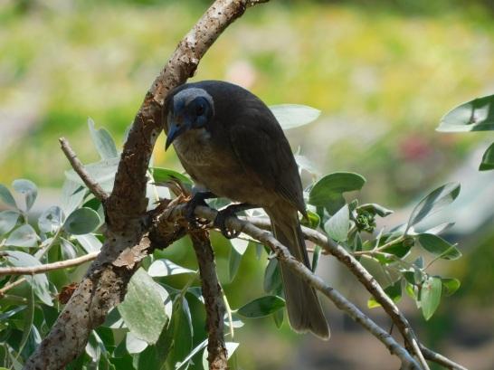 Bird- Cairns