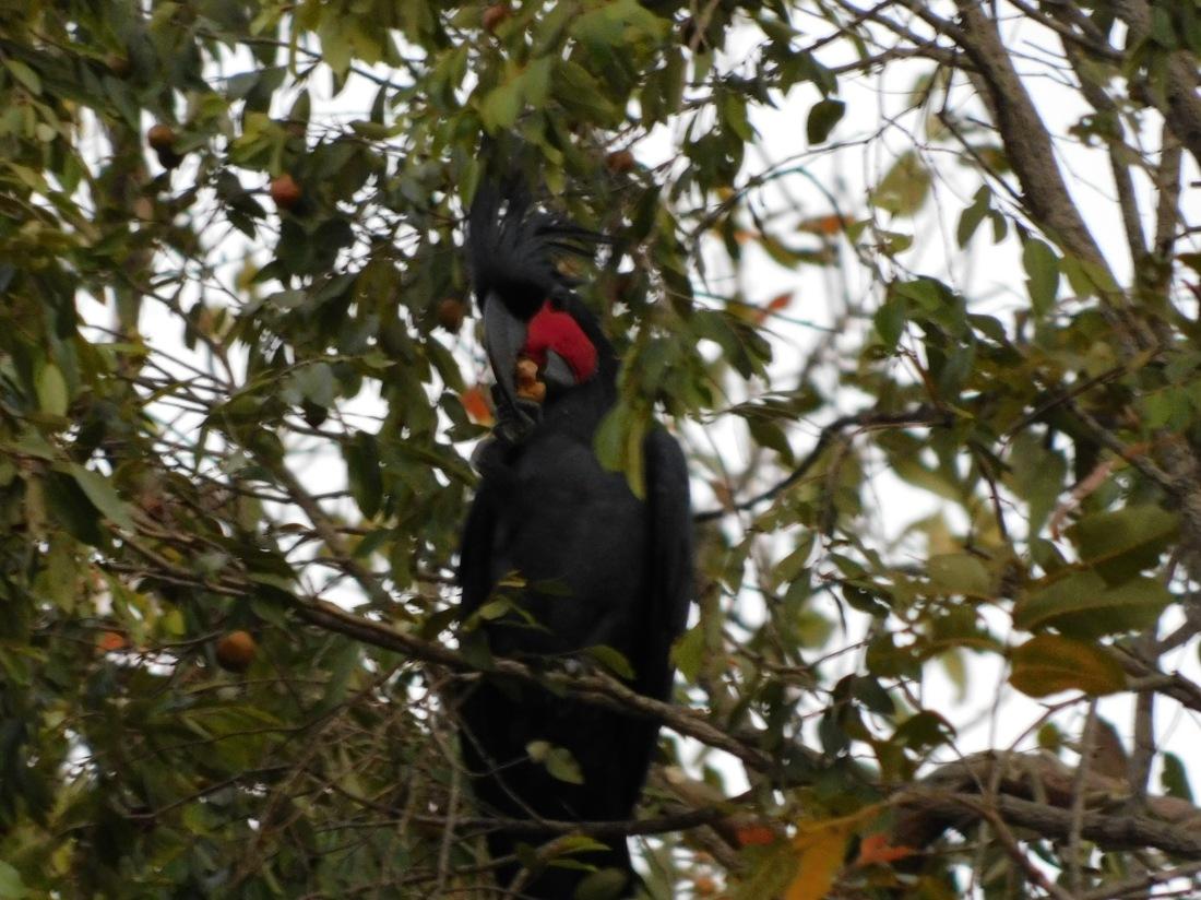 Bird- Cape York (2)