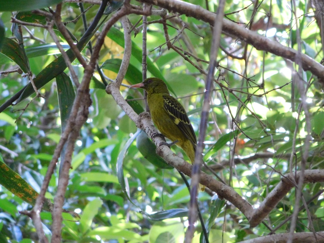Bird - Cape York (2)
