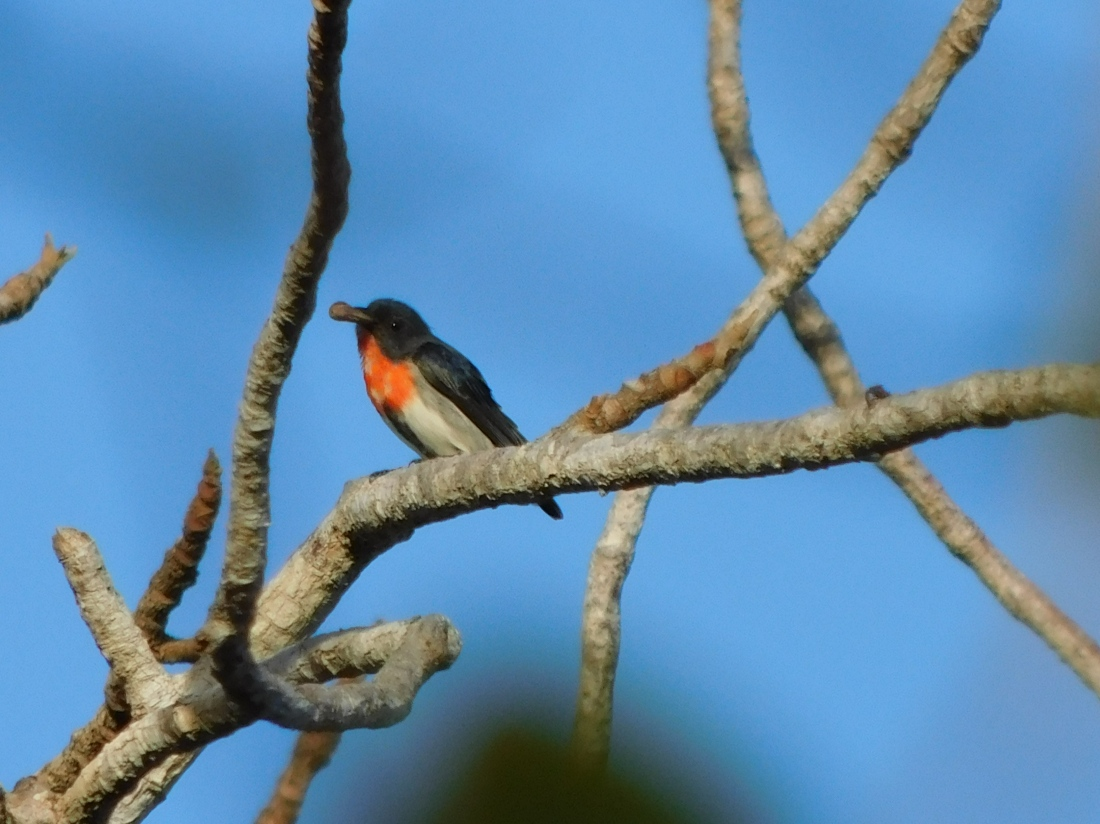 Bird - Cape York