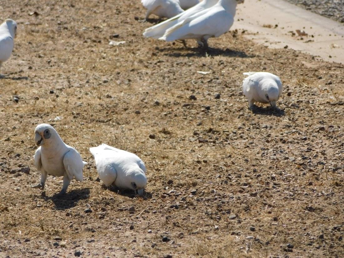 Bird- Karumba (2)