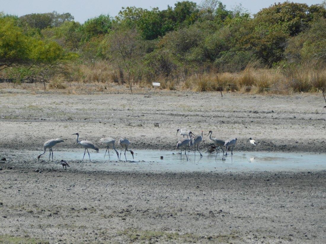 Bird- Karumba (5)