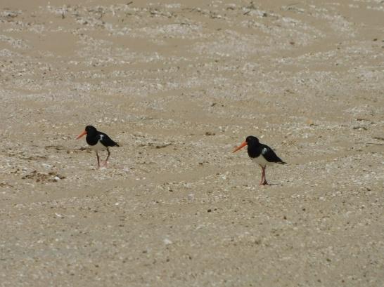 Bird - Mapoon