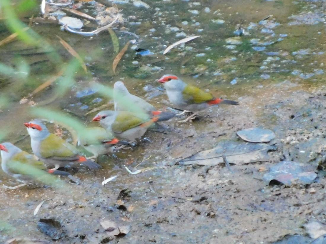 Bird - Oyala NP