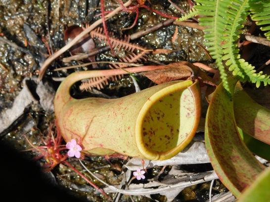 Cape York- Fruit Bat Falls- carnivoruos plants