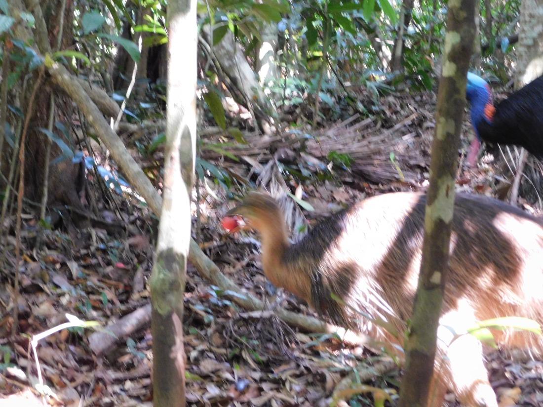 Cassawarry chick eating fruit
