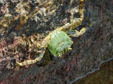 Chilli Beach Island- Crab
