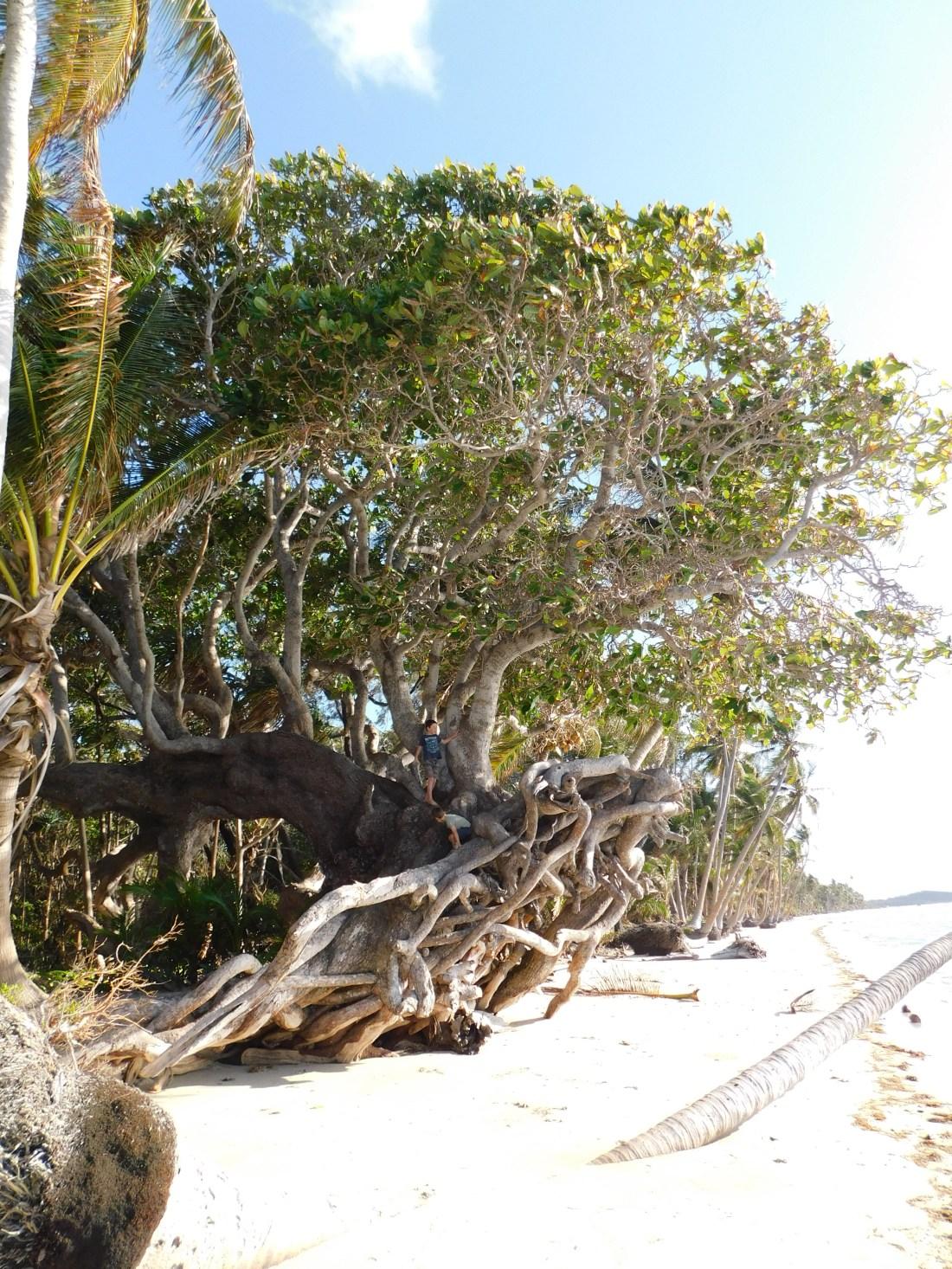 Chilli Beach - most amazing tree (2)