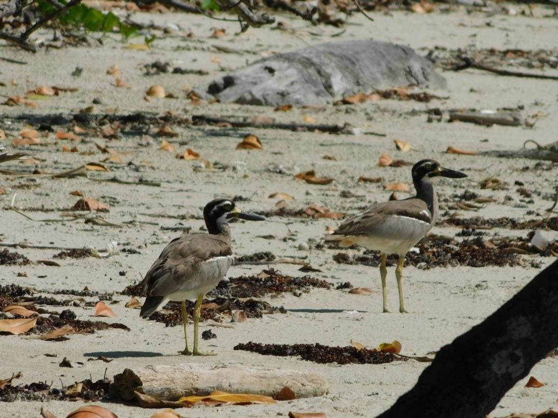 Daintree Beach Stone Curlew