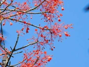 Daintree Flame Tree