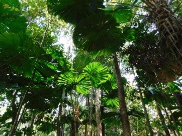 Daintree Palms