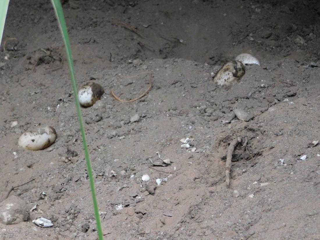 Lawn Hill- croc nest