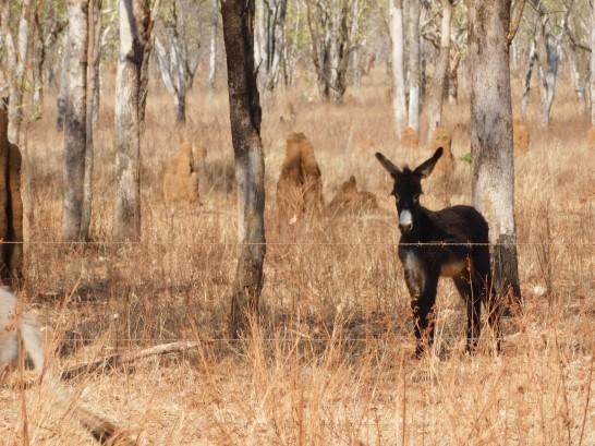 Nhulunbuy- Baby Donkey
