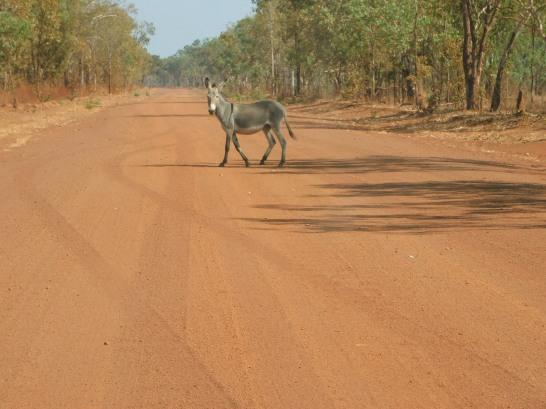 Nhulunbuy Donkey