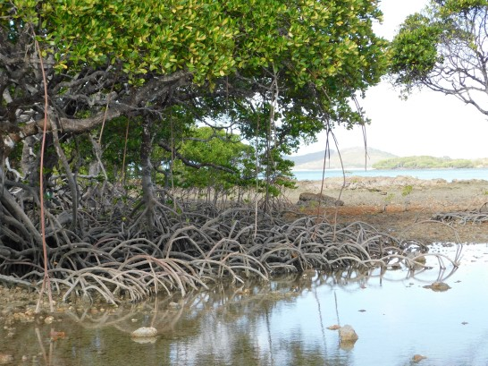 Roonga Point - Mangroves