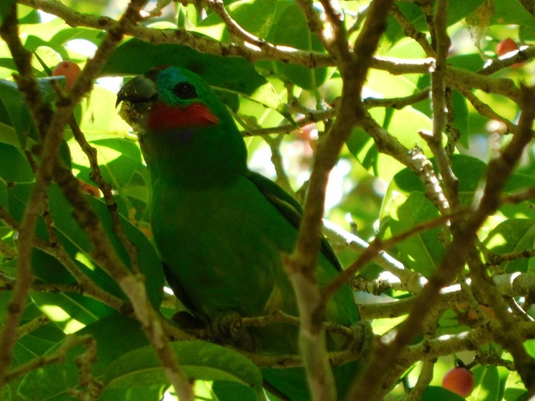 Bird- Fig Parrot (2)