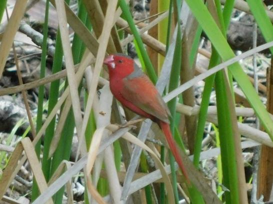 Bird- Tyto
