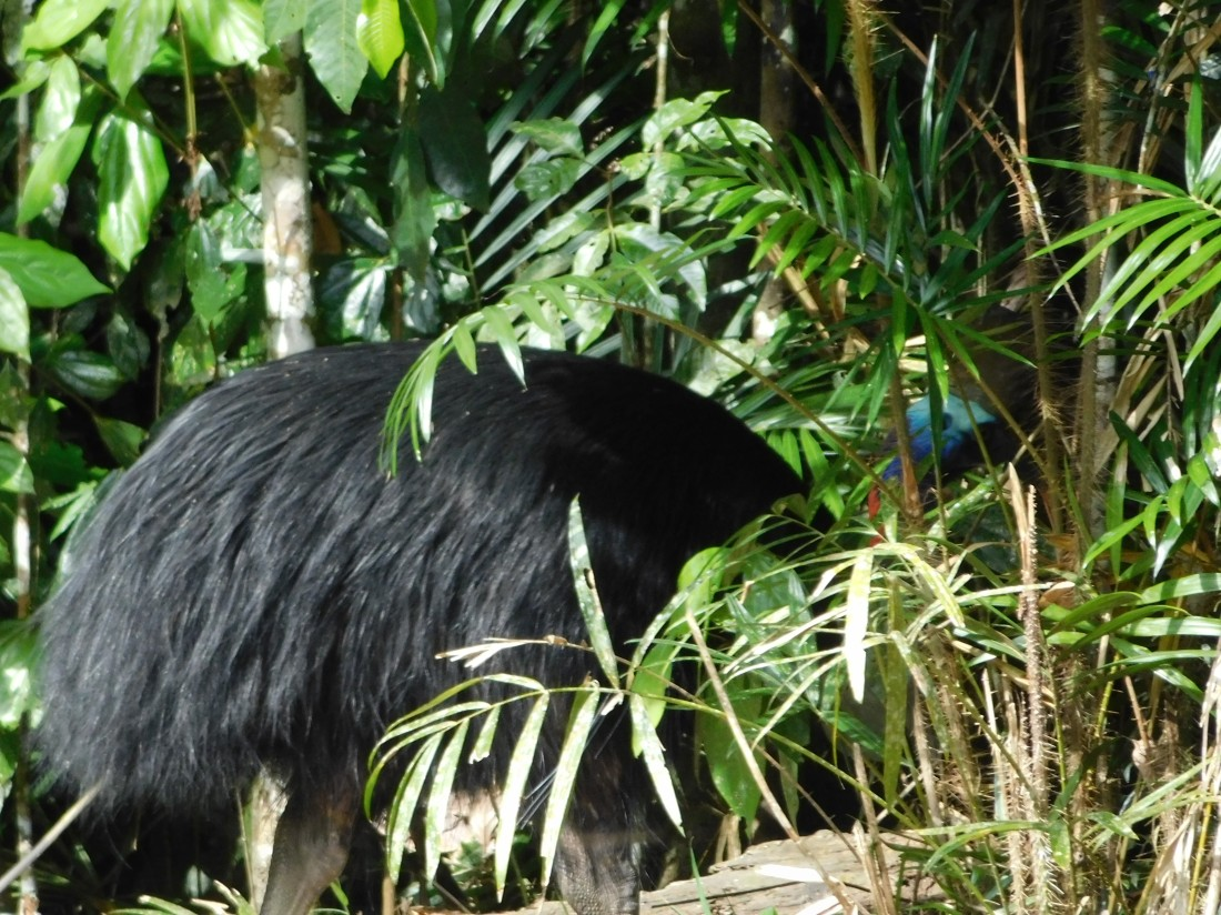 Misty Mountain Cassowary