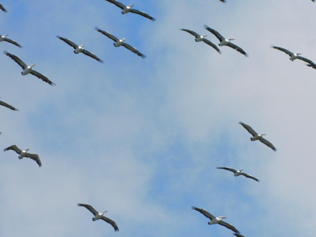 Tinaroo Dam- Pelicans